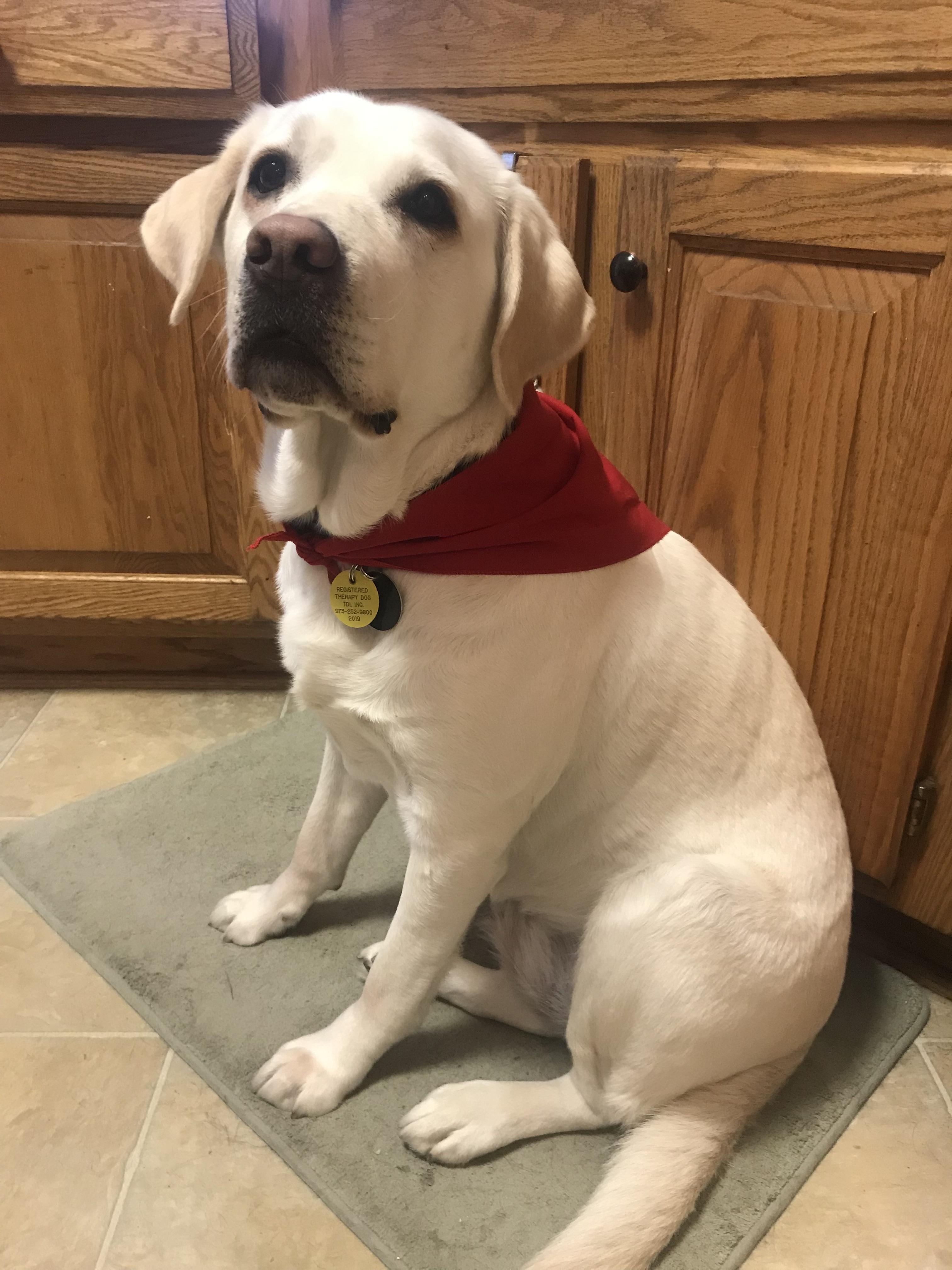 sugar in therapy dog bandana