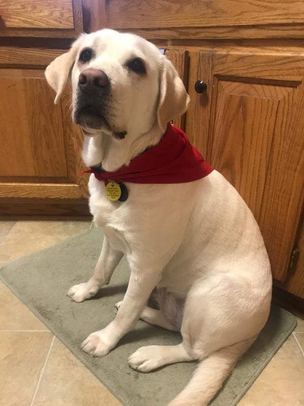 sugar in therapy dog bandana